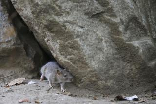 NYC Spending $32M to Fight Rats