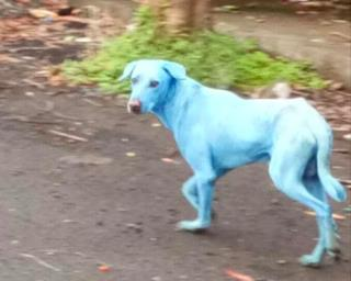 Why Dogs in India Are Turning Blue