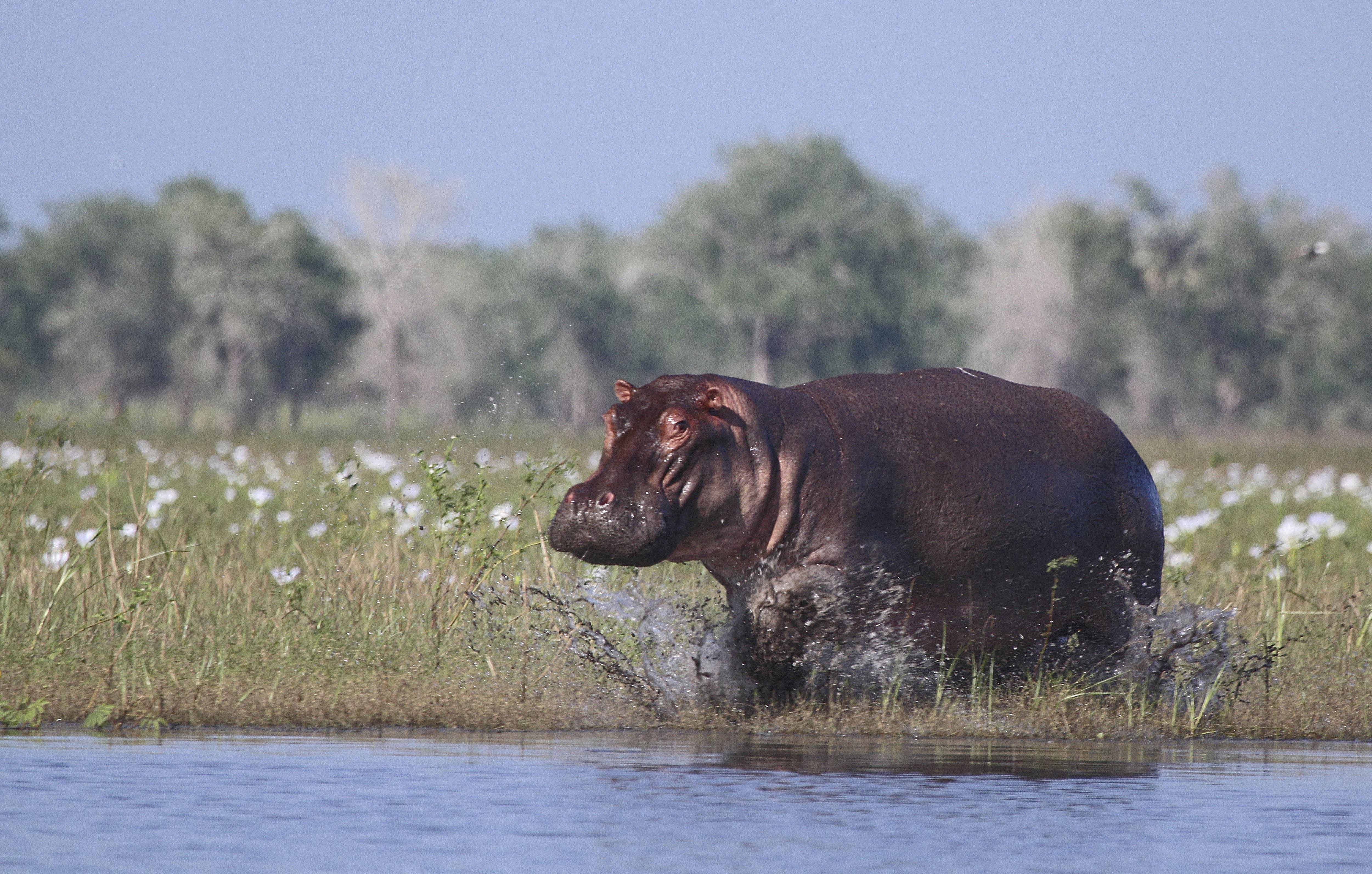 Hippo Kills Chinese Tourist Taking Photos at Kenya Lake