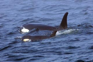 Chemical Banned Decades Ago Could Take Down Killer Whales