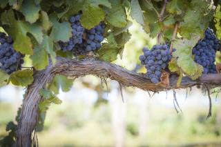 Napa Worker Dies in Grape-Picking Accident