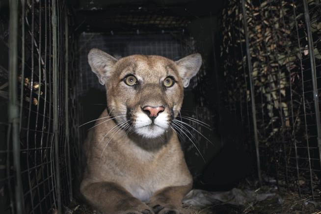 Mountain Lion Accomplishes Amazing Feat, Is Killed Trying to