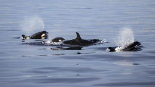 In the World of Orcas, Grandmothers Are Key