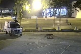 Mountain Lion Wanders Into Downtown San Francisco