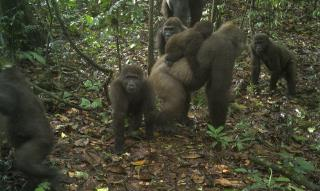 Rarest Great Ape Caught on Camera, With Youngsters