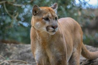 Texas Officials Disagree on Whether Cougar Killed Man