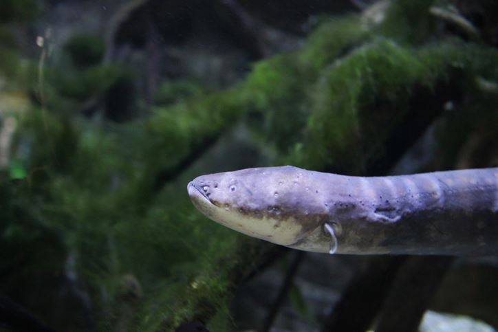 Researchers Make Surprise Discovery About Electric Eels