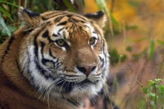 Pregnant Siberian Tiger Drowns at Zoo