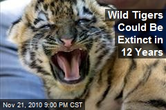 Wild Tigers Could Become Extinct In 12 Years