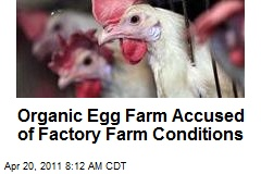 Organic Egg Farm Accused of Factory Farm Conditions