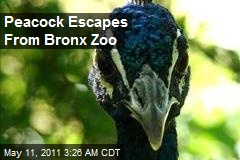 Peacock Escapes From Bronx Zoo