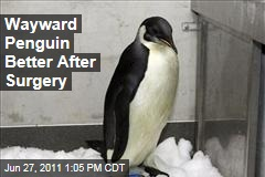Lost New Zealand Emperor Penguin: Happy Feet Improves After Surgery