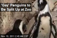 'Gay' Penguins to Be Split Up at Zoo