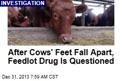 After Cows' Feet Fall Apart, Feedlot Drug Is Questioned