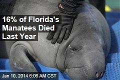 16% of Florida's Manatees Died Last Year