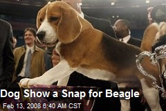 Dog Show a Snap for Beagle