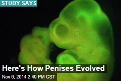 Here's How Penises Evolved