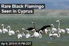 Rare Black Flamingo Seen in Cyprus