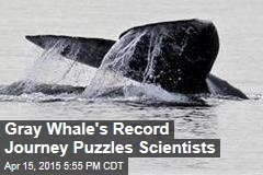 Gray Whale's Record Journey Puzzles Researchers