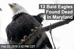 13 Bald Eagles Found Dead in Maryland