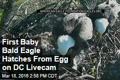 First Baby Bald Eagle Hatches From Egg on DC Livecam