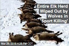 Entire Elk Herd Wiped Out by Wolves in 'Sport Killing'