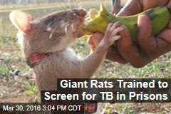 Giants Rats Trained to Screen for TB in Prisons