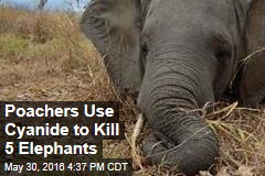 Poachers Use Cyanide to Kill 5 Elephants