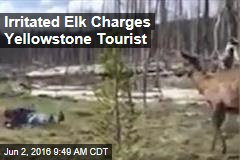 Irritated Elk Charges Yellowstone Tourist