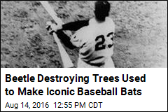 Beetle Destroying Trees Used to Make Iconic Baseball Bats