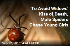 To Avoid Widows' Kiss of Death, Male Spiders Chase Young Girls