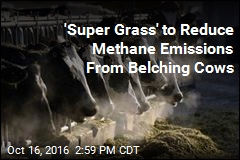 'Super Grass' to Reduce Methane Emissions from Belching Cows