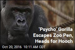 'Psycho' Gorilla Escapes Zoo Pen, Heads for Hooch