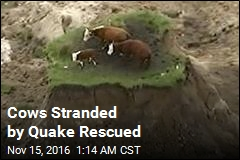 Cows Stranded by Quake Rescued