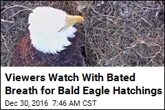 2 Bald Eagle Eggs Are About to Hatch on Camera