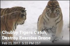 Chubby Tigers Catch, Destroy Exercise Drone