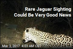 Rare Jaguar Sighting in Arizona Mountains