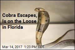 2-Foot-Long Cobra Is on the Loose in Florida