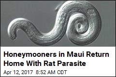 Rat Parasite Infects Bay Area Newlyweds Visiting Maui