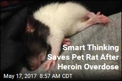 Smart Thinking Saves Pet Rat After Heroin Overdose