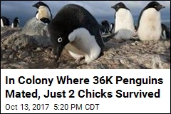 In Colony Where 36K Penguins Mated, Just 2 Chicks Survived