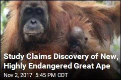 Frizzy-Haired Orangutan May Be New Great Ape