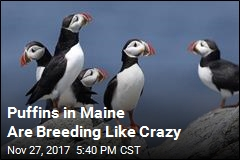 Maine Puffins Have Historic Mating Season