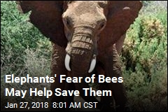 Elephants' Fear of Bees May Help Save Them
