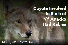 Coyote Involved in Series of Attacks in NY Had Rabies