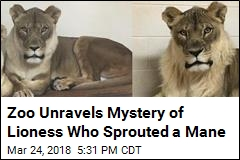 Zoo Unravels Mystery of Lioness Who Sprouted a Mane