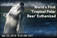 World's First 'Tropical Polar Bear' Euthanized