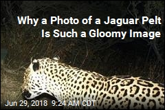 Why a Photo of a Jaguar Pelt Is Such a Gloomy Image