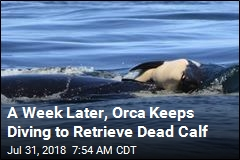 A Week Later, Orca Still Carrying Its Dead Calf