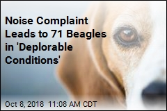 Noise Complaint Leads to 71 Beagles in 'Deplorable Conditions'